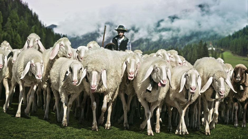 Oben auf der Alp: eine Schafherde.