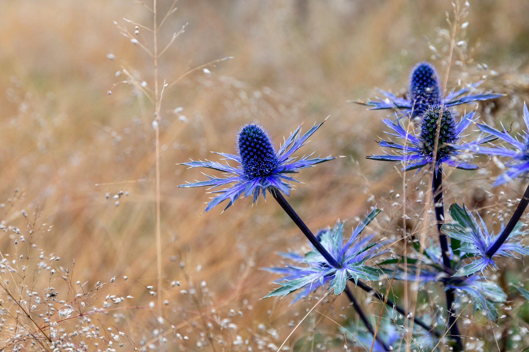 "Eryngium ""Big Blue"" (Edeldistel-Mannstreu)/November2020 / Foto: @ Vitra"